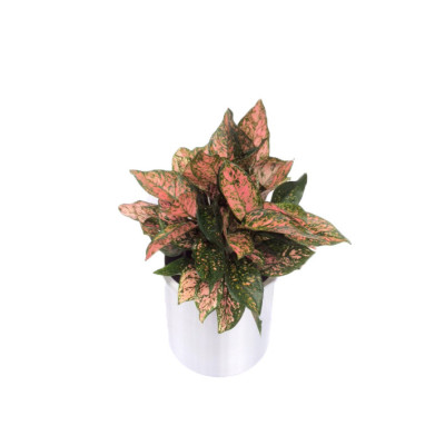 Aglaonema 'Aglaonema Wishes'