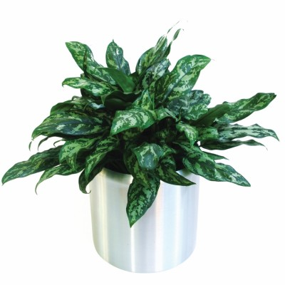 Aglaonema 'Aglaonema Emerald Beauty'