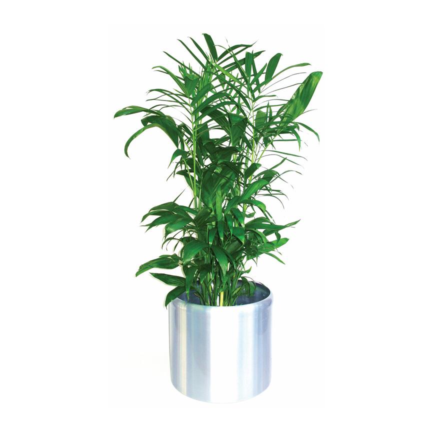 Bamboo Palm 'Chamaedorea Seifrizii'