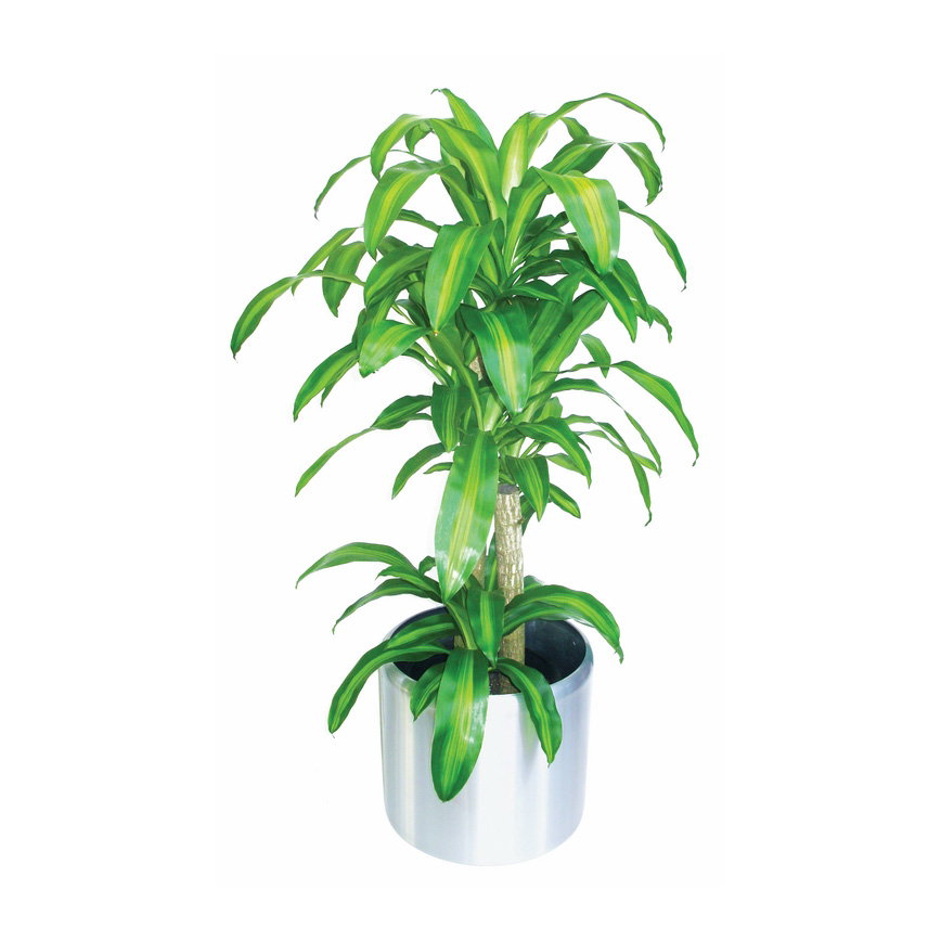Happy Plant 'Dracaena Fragrans'