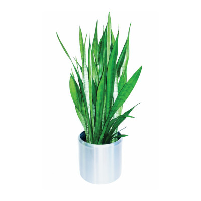 Mother in Law Tongue 'Sansevieria'