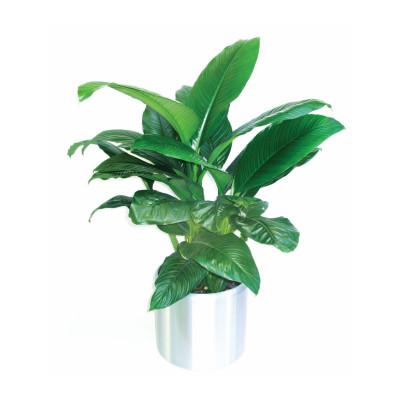 Peace Lily 'Spathiphyllum Sensation'