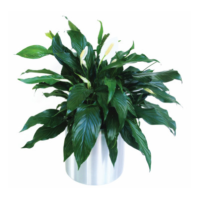Peace Lily 'Spathiphyllum Wallissi'
