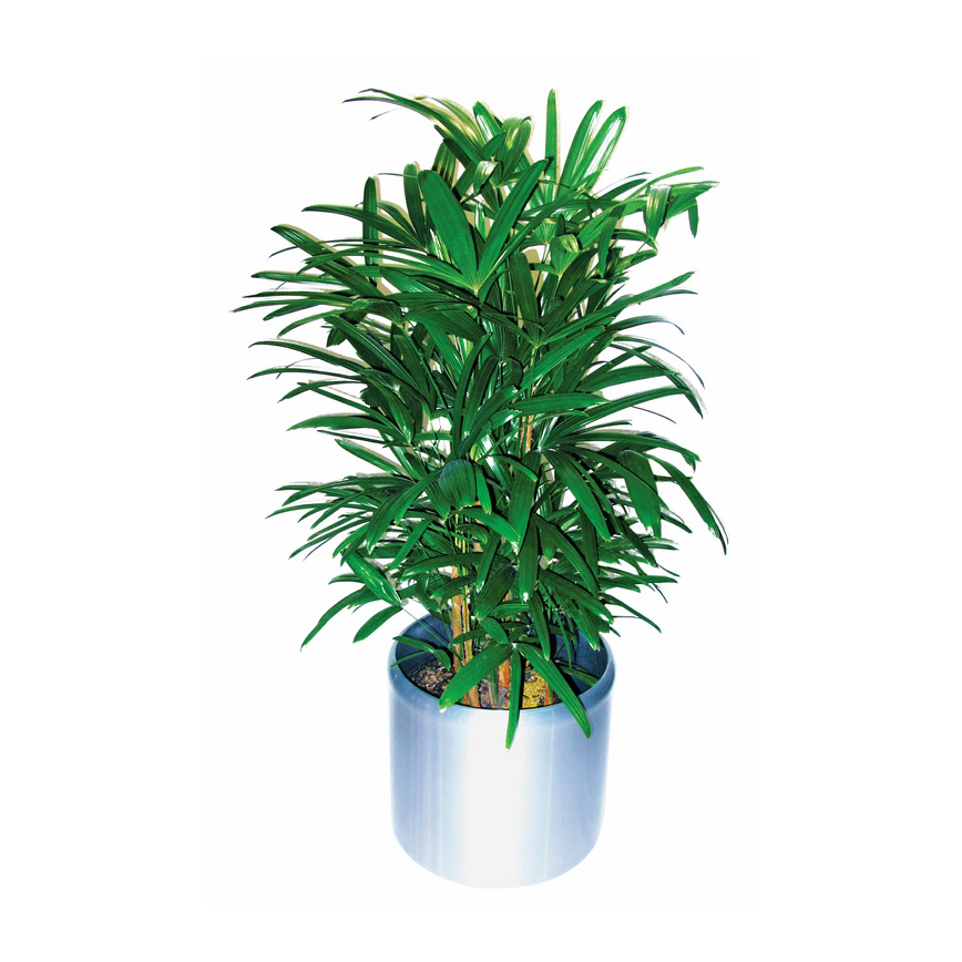 Rhapis Palm 'Rhapis Excelsa'