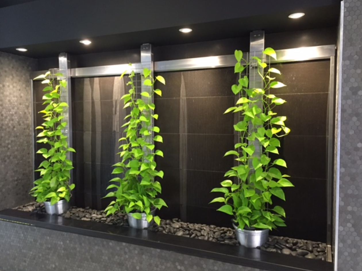 Creeping indoor vines - Brisbane plant hire and maintaince