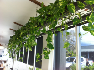 Lush green vines falling in front of window - indoor plant hire