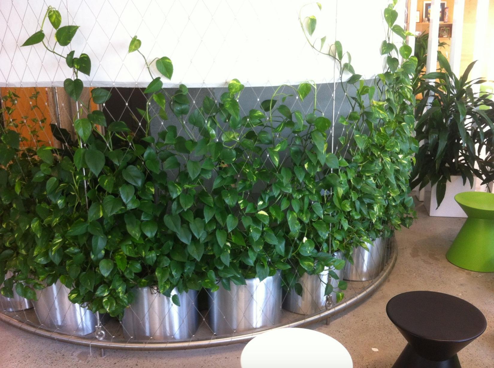 Indoor plant hire Brisbane lush creeping vines